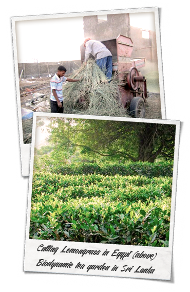 Organic lemongrass cutting in Egypt & Biodynamic Tea Garden in Sri Lanka, Certified Organic Tea by Shanti Tea Canada