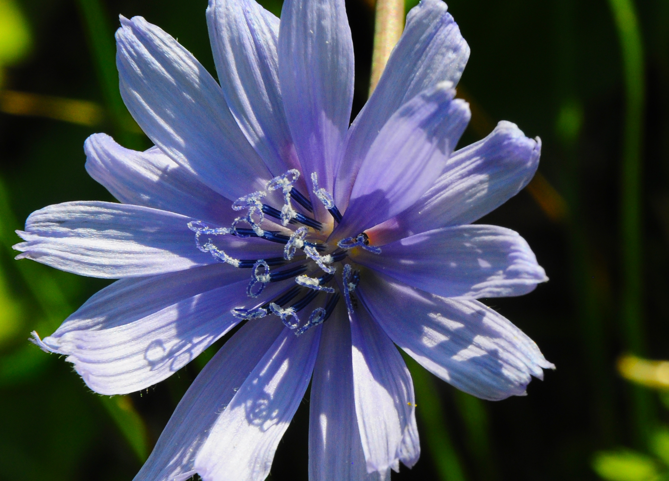7 healthy reasons to add chicory root to your day