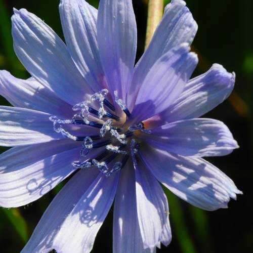 Chicoryflower